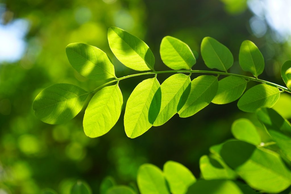 Moringa benefits and uses